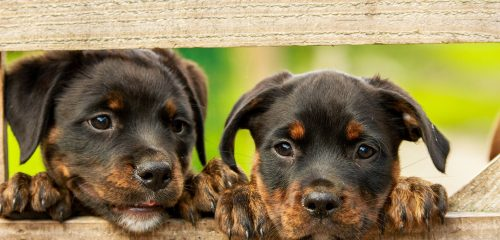 Rottweiler Puppies looking through fence