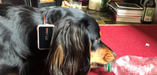 dog wearing Pawfit playing with enrichment toy