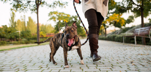 Dog walking on a lead with owner