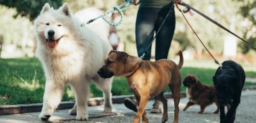 Dog walker walking dogs