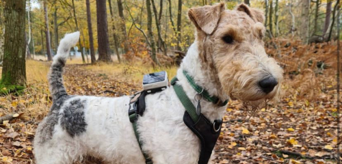 A terrier dog in the woods wearing a Pawfit 2 tracker on its harness