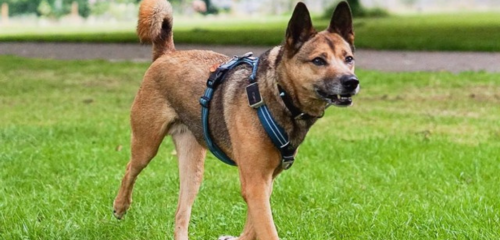 A brown mongrel dog wearing a blue harness with a Pawfit GPS tracker attached
