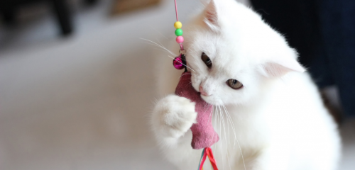 A white cat playing with a small toy